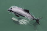 Adult Hector's Dolphin (Cephalorhynchus Hectori) Mating Near Akaroa Photographic Print by Michael Nolan