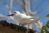 Common White-Tern (Gygis Alba), Denis Island, Seychelles, Indian Ocean, Africa Photographic Print by Sergio Pitamitz