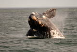 Southern Right Whale (Eubalaena Australis) Calf Breaching, Nuevo Gulf, Argentina, South America Photographic Print by Pablo Cersosimo