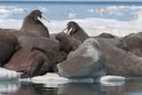 Walrus (Odobenus Rosmarinus) Females Photographic Print by Louise Murray