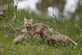 Red Fox (Vulpes Vulpes) (Vulpes Fulva) Vixen and Two Kits Photographic Print by James Hager