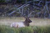 Bull Elk (Cervus Canadensis) Photographic Print by Michael Nolan
