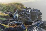 Waved Albatross (Phoebastria Irrorata) Photographie par G and M Therin-Weise