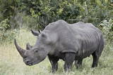 White Rhinoceros (Ceratotherium Simum), Kruger National Park, South Africa, Africa Photographic Print by James Hager