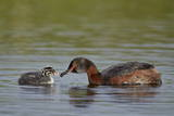 Horned Grebe (Podiceps Auritus) Female Feeding a Chick, Lake Myvatn, Iceland, Polar Regions Papier Photo par James Hager