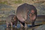 Hippopotamus (Hippopotamus Amphibius) Mother and Calf Fotodruck von James Hager
