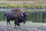 Lone Bison (Buffalo) (Bison Bison) Photographic Print by Michael Nolan