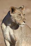 Young Male Lion (Panthera Leo) Photographic Print by James Hager