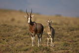 Blesbok (Damaliscus Pygargus Phillipsi) Ewe and Lamb Photographic Print by James Hager