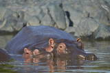 Hippopotamus (Hippopotamus Amphibius) Mother and Calf Photographic Print by James Hager
