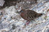 Galapagos Dove (Zenaida Galapagoensis) Photographic Print by G and M Therin-Weise