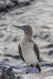 Blue-Footed Booby (Sula Nebouxii) Photographic Print by Michael Nolan