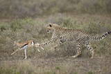 Cheetah (Acinonyx Jubatus) Cub Chasing a Baby Thomson's Gazelle (Gazella Thomsonii) Photographic Print by James Hager