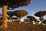 Dragon Tree (Dracaena Cinnabari), Socotra Island, Yemen, Middle East Photographic Print by Bruno Morandi