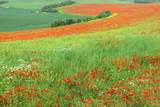 Red Poppies Field, Cote D'Opale, Region Nord-Pas De Calais, France Photographic Print by Gabrielle and Michel Therin-Weise
