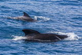 Adult Female and Male Long-Finned Pilot Whales (Globicephala Melas) Photographic Print by Michael Nolan