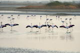 Lesser Flamingos, Little Rann of Kutch, Gujarat, India, Asia Photographic Print by Bhaskar Krishnamurthy