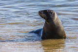 Adult New Zealand (Hooker'S) Sea Lion (Phocarctos Hookeri) Photographic Print by Michael Nolan