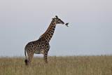Masai Giraffe Photographic Print by James Hager