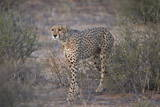 Cheetah (Acinonyx Jubatus) Photographic Print by James Hager
