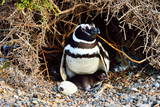 Magellanic Penguin (Spheniscus Magellanicu) Female Photographic Print by Pablo Cersosimo