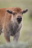 Bison (Bison Bison) Calf Photographic Print by James Hager