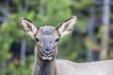 Young Elk (Cervus Canadensis) Photographic Print by Michael Nolan