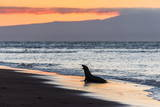 Galapagos Sea Lion (Zalophus Wollebaeki) Photographie par Michael Nolan