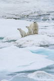 Mother Polar Bear Photographic Print by Gabrielle and Michel Therin-Weise