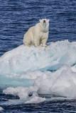 Adult Polar Bear (Ursus Maritimus) Photographic Print by Michael Nolan