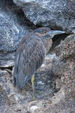 Yellow-Crowned Night-Heron (Nyctanassa Violacea) Photographic Print by G and M Therin-Weise