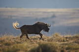 Black Wildebeest (White-Tailed Gnu) (Connochaetes Gnou) Running Photographic Print by James Hager