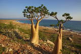 Rose of Desert (Adenium Obesum Ssp. Sokotranum), Dihamri Beach, Socotra Island, Yemen, Middle East Photographic Print by Bruno Morandi