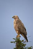 Steppe Buzzard (Common Buzzard) (Buteo Vulpinus or Buteo Buteo Vulpinus) Photographic Print by James Hager