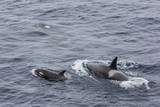 A Small Pod of around 12 Curious Killer Whales (Orcinus Orca) Photographic Print by Michael Nolan