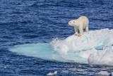 Adult Polar Bear (Ursus Maritimus) Fotografisk trykk av Michael Nolan