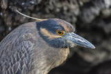 Adult Yellow-Crowned Night Heron (Nyctanassa Violacea) Photographic Print by Michael Nolan