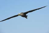 Waved Albatross (Phoebastria Irrorata) in Flight Photographic Print by G and M Therin-Weise