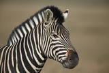 Common Zebra (Plains Zebra) (Burchell's Zebra) (Equus Burchelli) Photographic Print by James Hager