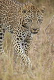 Leopard (Panthera Pardus) Walking Through Dry Grass, Kruger National Park, South Africa, Africa Photographic Print by James Hager