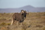 Black Wildebeest (White-Tailed Gnu) (Connochaetes Gnou) Photographic Print by James Hager