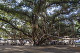 Banyan Tree, Lahaina, Maui, Hawaii, United States of America, Pacific Photographic Print by Rolf Richardson