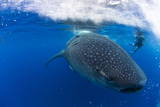 Diver and Whale Shark (Rhincodon Typus) Photographic Print by Pablo Cersosimo