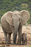 African Elephant (Loxodonta Africana) Mother and Baby Fotografie-Druck von James Hager