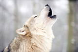 North American Timber Wolf (Canis Lupus) Howling in the Snow in Forest Fotografiskt tryck av Louise Murray