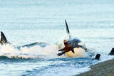 Orca (Orcinus Orca) Hunting South American Sea Lion (Otaria Flavescens) at Peninsula Valdes Reprodukcja zdjęcia autor Pablo Cersosimo