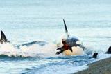 Orca (Orcinus Orca) Hunting South American Sea Lion (Otaria Flavescens) at Peninsula Valdes Lámina fotográfica por Pablo Cersosimo