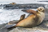 Galapagos Sea Lion (Zalophus Wollebaeki) Pup Nursing in Puerto Egas Photographic Print by Michael Nolan