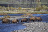 Line of Bison (Bison Bison) Crossing the Lamar River Photographic Print by James Hager