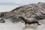 Galapagos Sea Lion (Zalophus Wollebaeki) Adult Bull Photographic Print by Michael Nolan